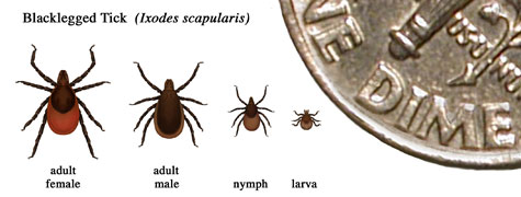 different kinds of tick